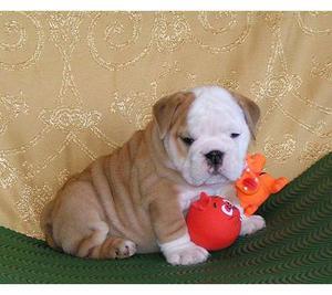 chicago: Angelic english bulldog puppies for adoption